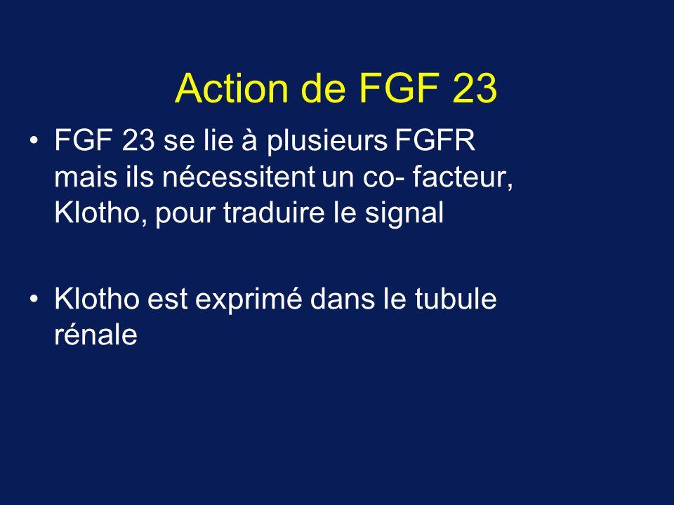 Action de FGF 23 FGF 23 se lie à plusieurs FGFR mais ils nécessitent un co- facteur, Klotho, pour traduire le signal.