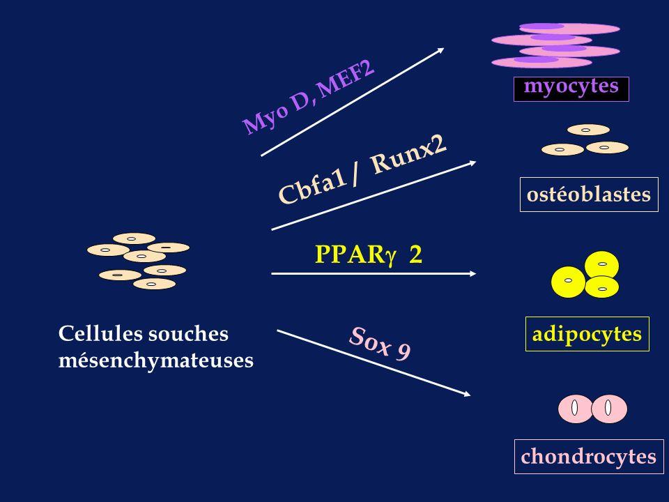 Cbfa1 / Runx2 PPAR 2 Sox 9 myocytes Myo D, MEF2 ostéoblastes