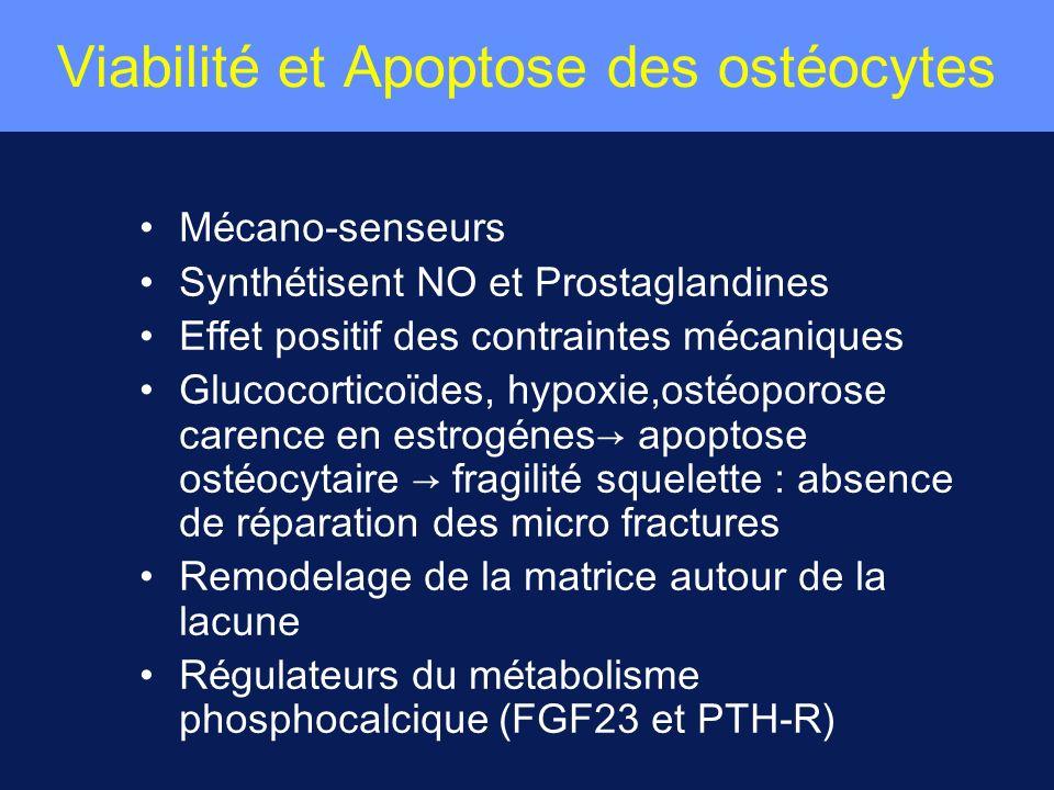 Viabilité et Apoptose des ostéocytes