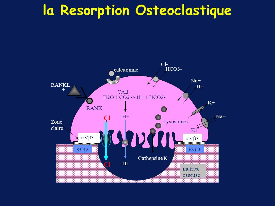 la Resorption Osteoclastique