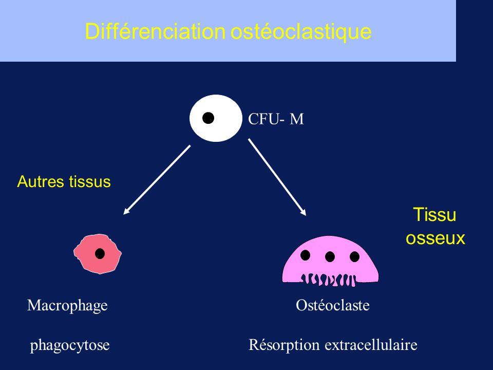Différenciation ostéoclastique