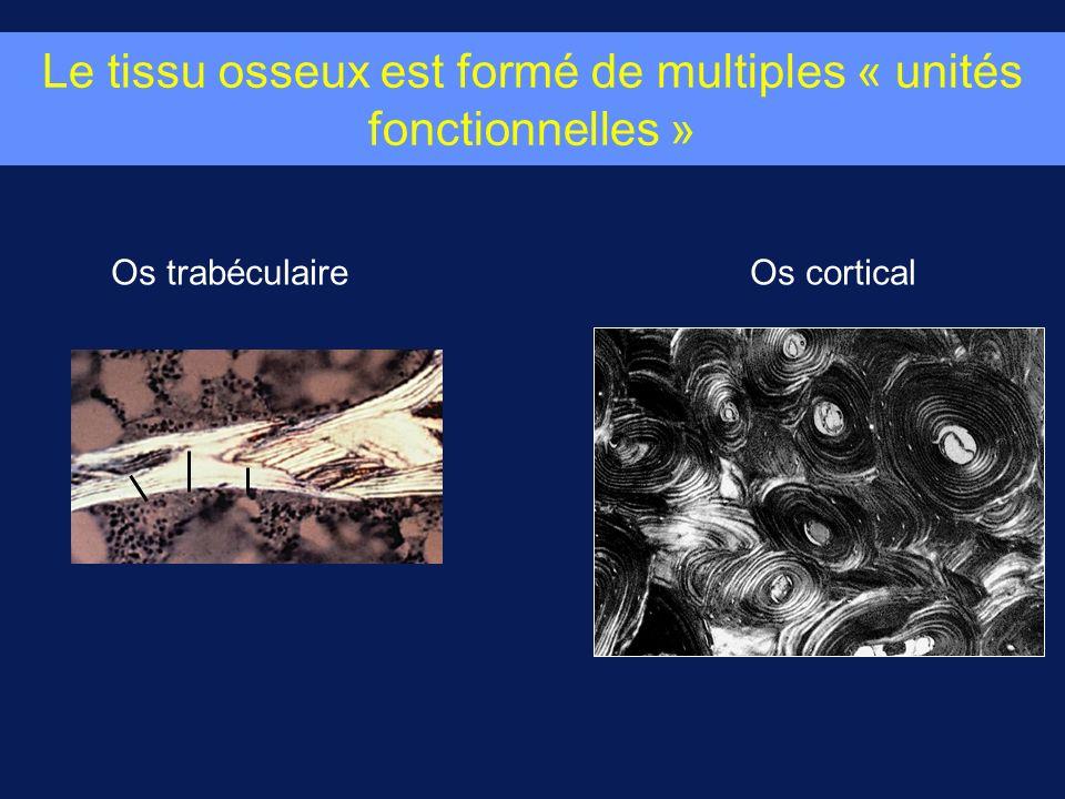 Le tissu osseux est formé de multiples « unités fonctionnelles »
