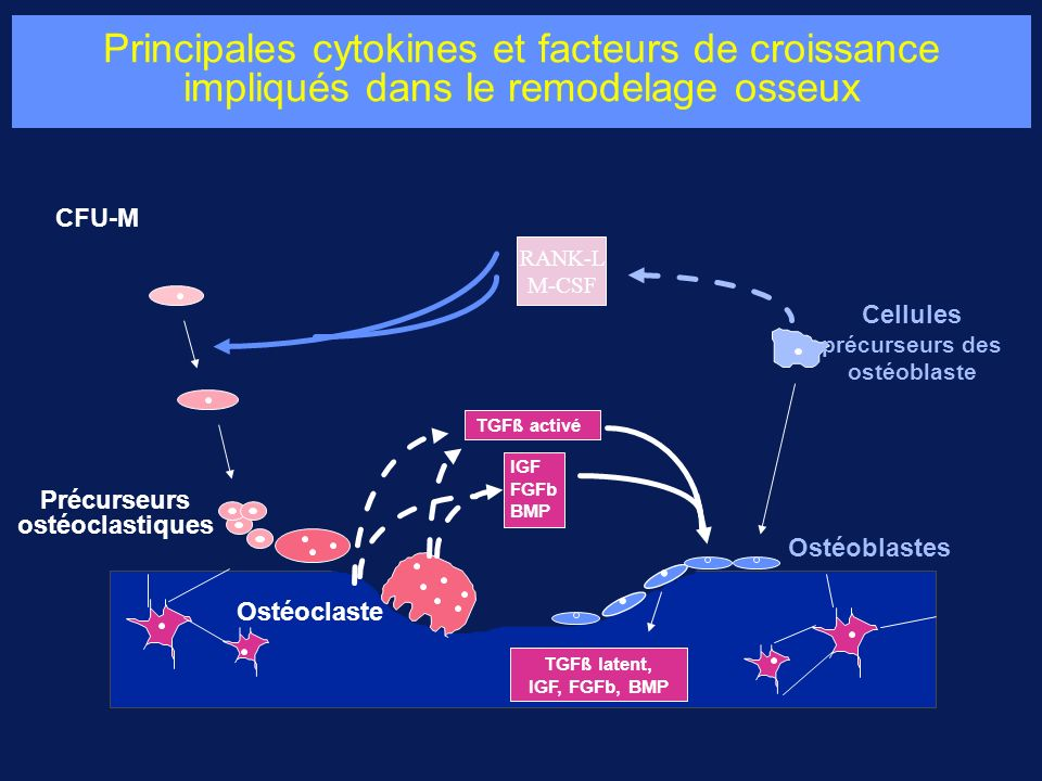 Cellules précurseurs des ostéoblaste Précurseurs ostéoclastiques