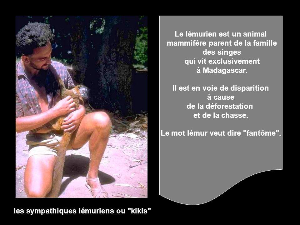 Le lémurien est un animal mammifère parent de la famille des singes
