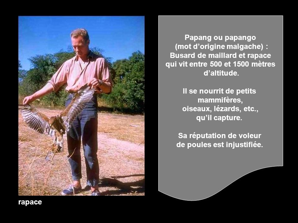 (mot d'origine malgache) : Busard de maillard et rapace