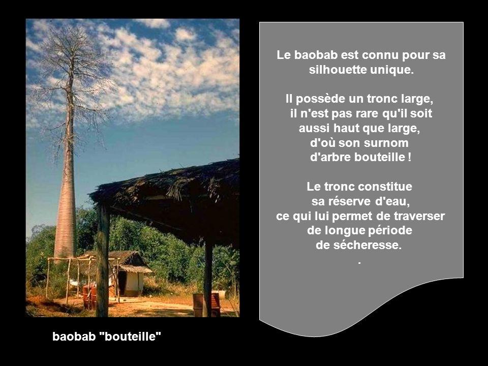 Le baobab est connu pour sa silhouette unique.