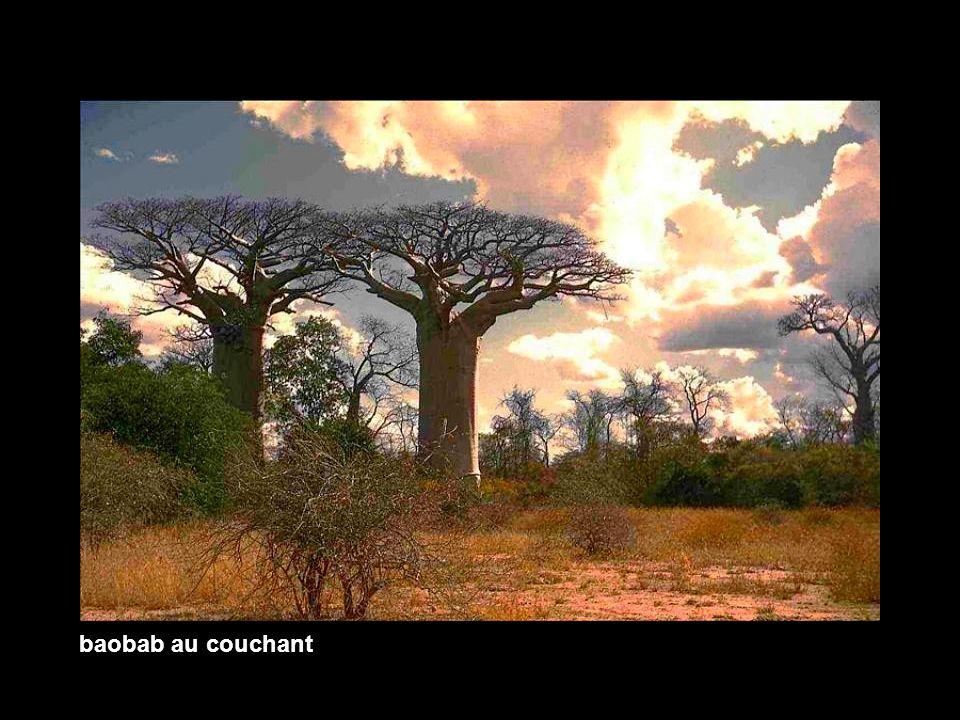 baobab au couchant