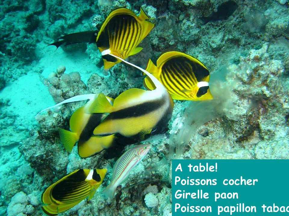 A table! Poissons cocher Girelle paon Poisson papillon tabac