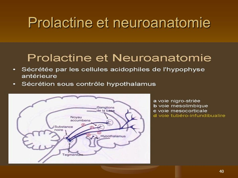 Prolactine et neuroanatomie
