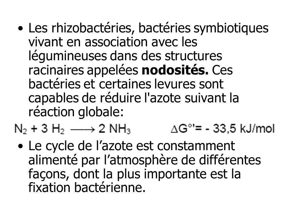 Les rhizobactéries, bactéries symbiotiques vivant en association avec les légumineuses dans des structures racinaires appelées nodosités. Ces bactéries et certaines levures sont capables de réduire l azote suivant la réaction globale: