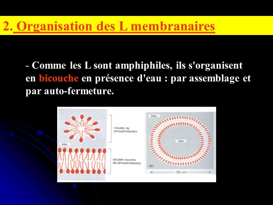 2. Organisation des L membranaires