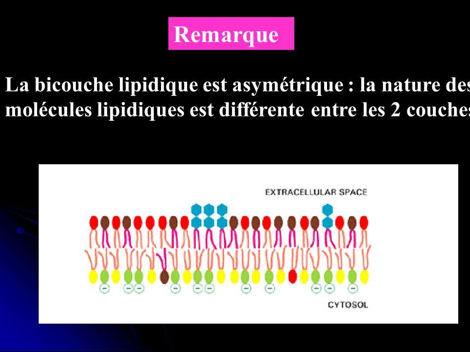 Remarque La bicouche lipidique est asymétrique : la nature des molécules lipidiques est différente entre les 2 couches.