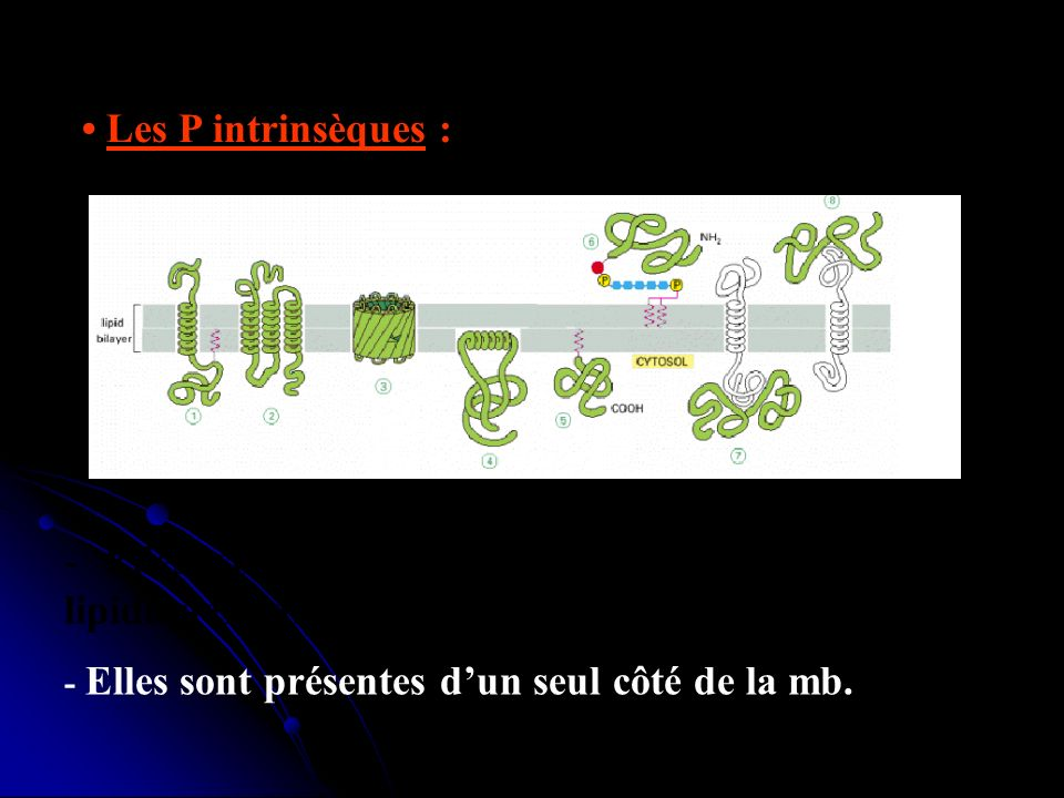 • Les P intrinsèques :- Elles sont maintenues dans une des 2 couches lipidiques par une chaîne d'ag.