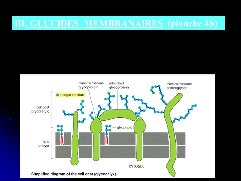 III. GLUCIDES MEMBRANAIRES (planche 4b)