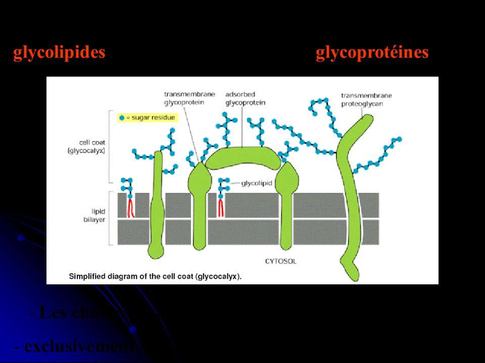 exclusivement localisées sur la face non cytosolique.