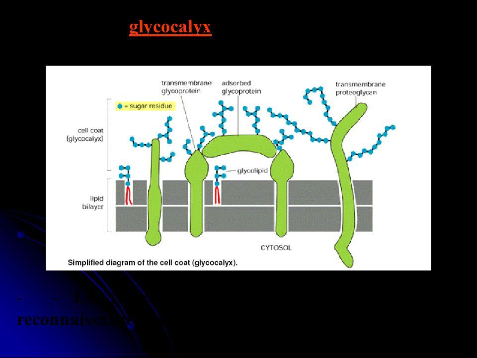 - - On appelle glycocalyx la zone périphérique riche en G située sur la face externe.
