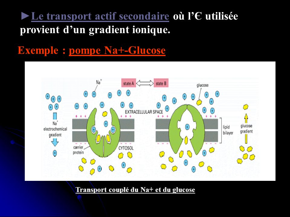 Exemple : pompe Na+-Glucose