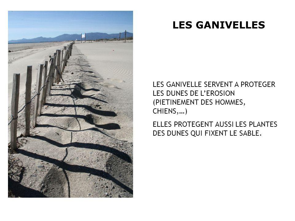 LES GANIVELLESLES GANIVELLE SERVENT A PROTEGER LES DUNES DE L'EROSION (PIETINEMENT DES HOMMES, CHIENS,…)