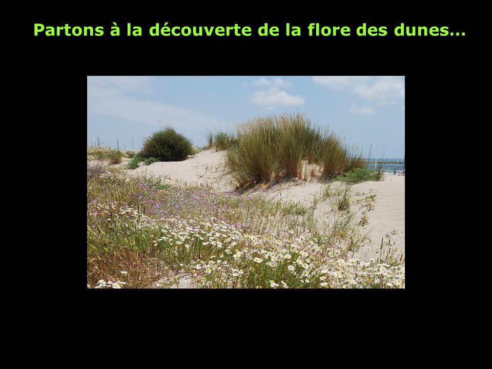 Partons à la découverte de la flore des dunes…