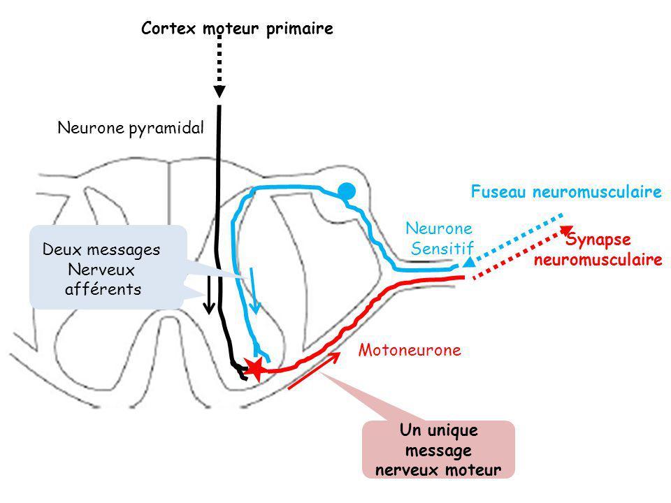 Synapse neuromusculaire Un unique message nerveux moteur