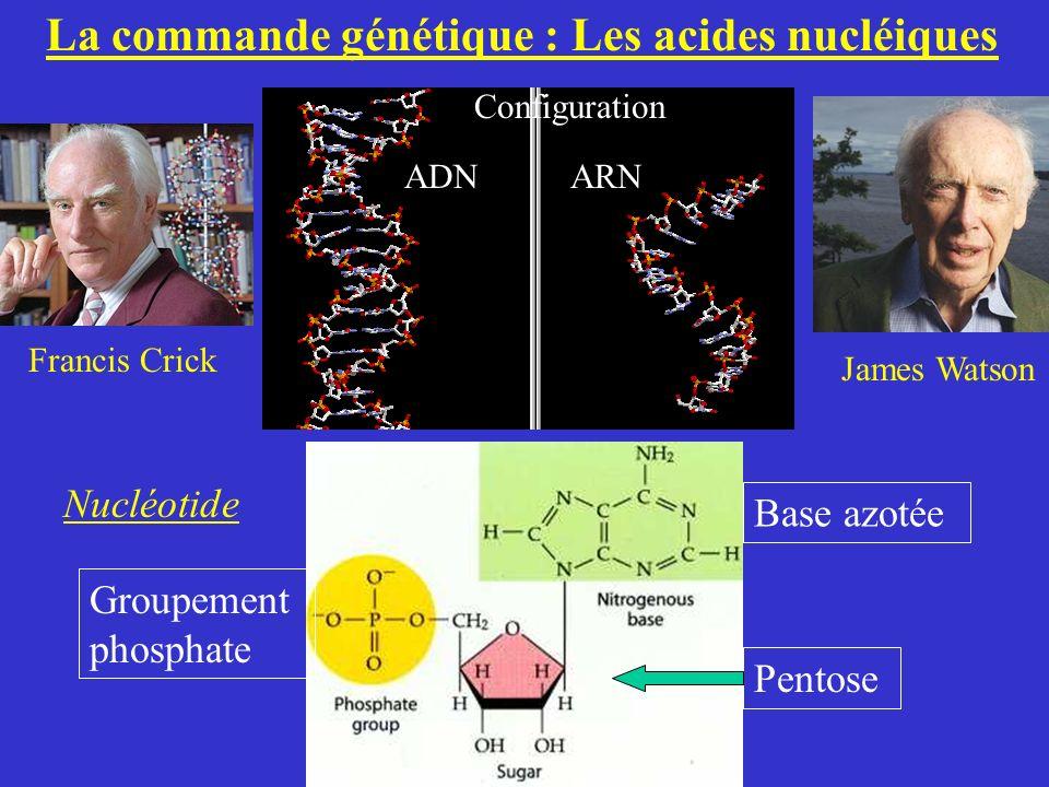 La commande génétique : Les acides nucléiques