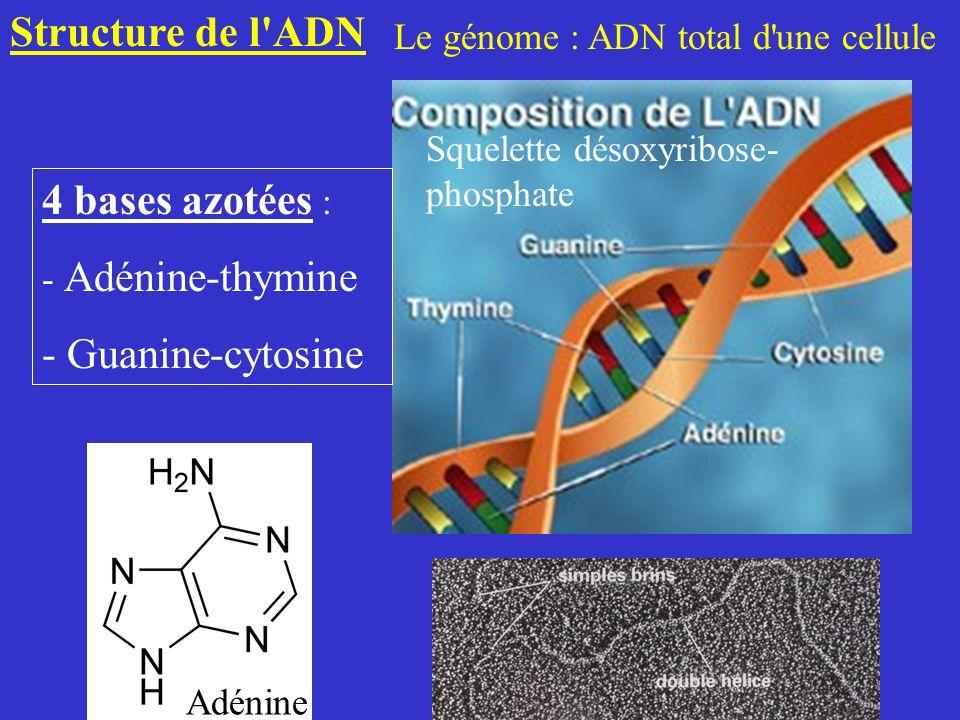Structure de l ADN 4 bases azotées : - Guanine-cytosine