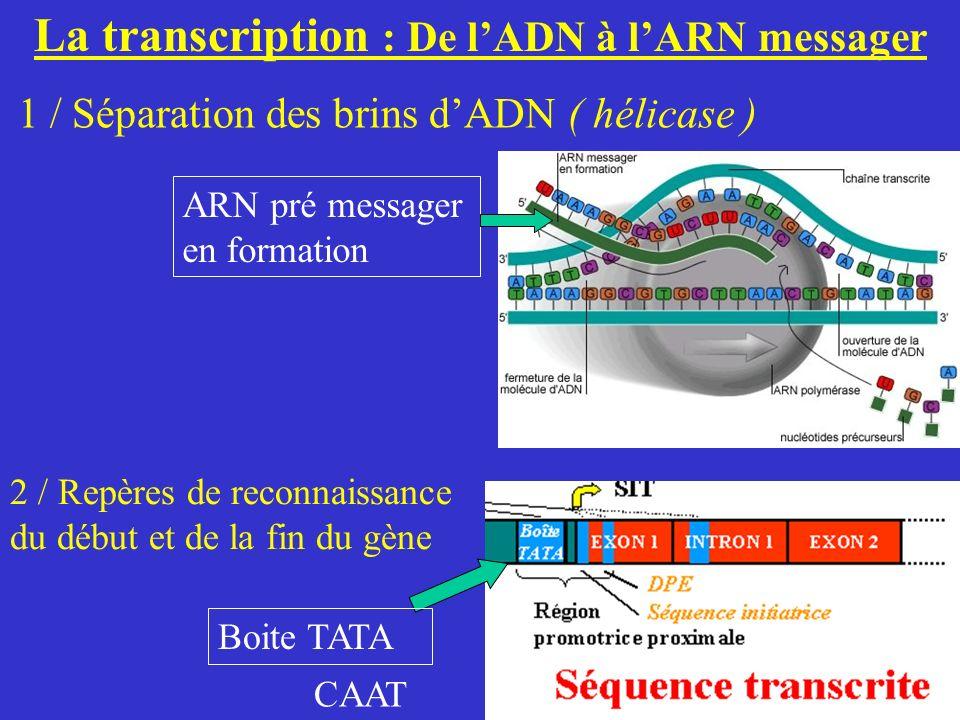 La transcription : De l'ADN à l'ARN messager