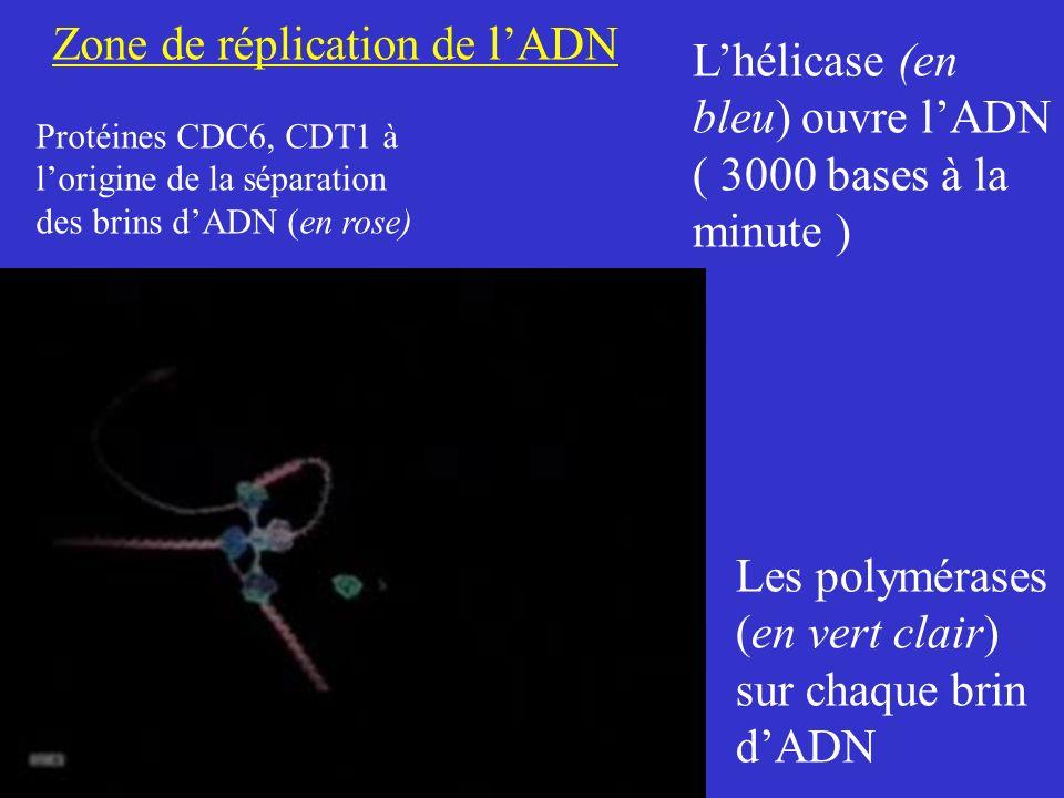 Zone de réplication de l'ADN