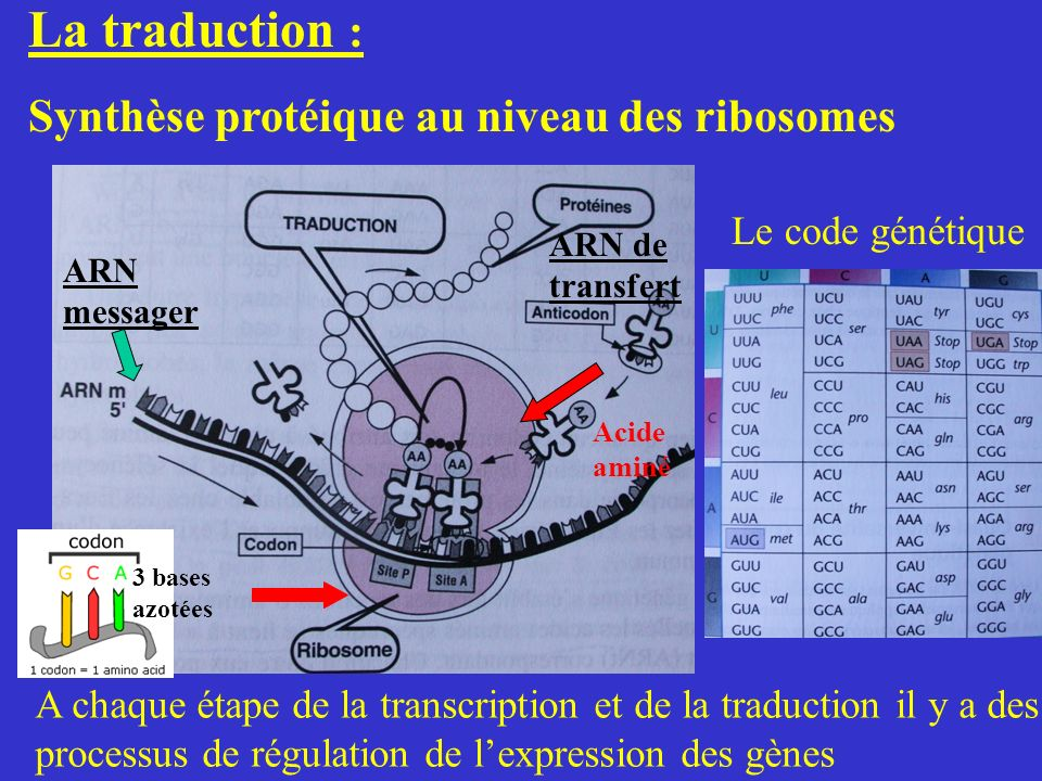 La traduction : Synthèse protéique au niveau des ribosomes