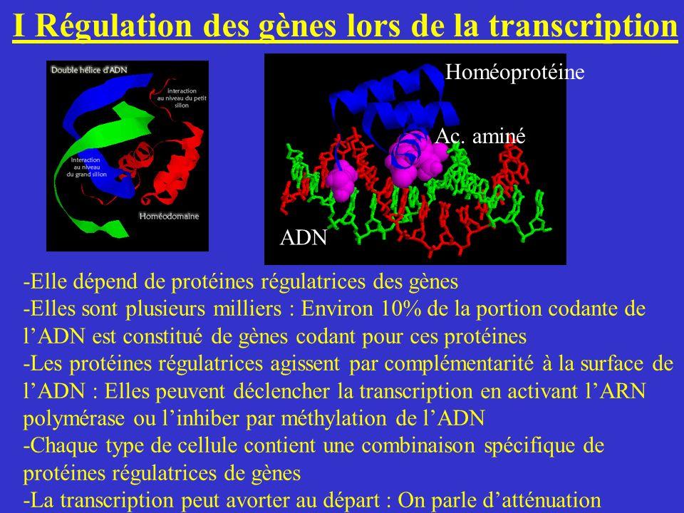 I Régulation des gènes lors de la transcription