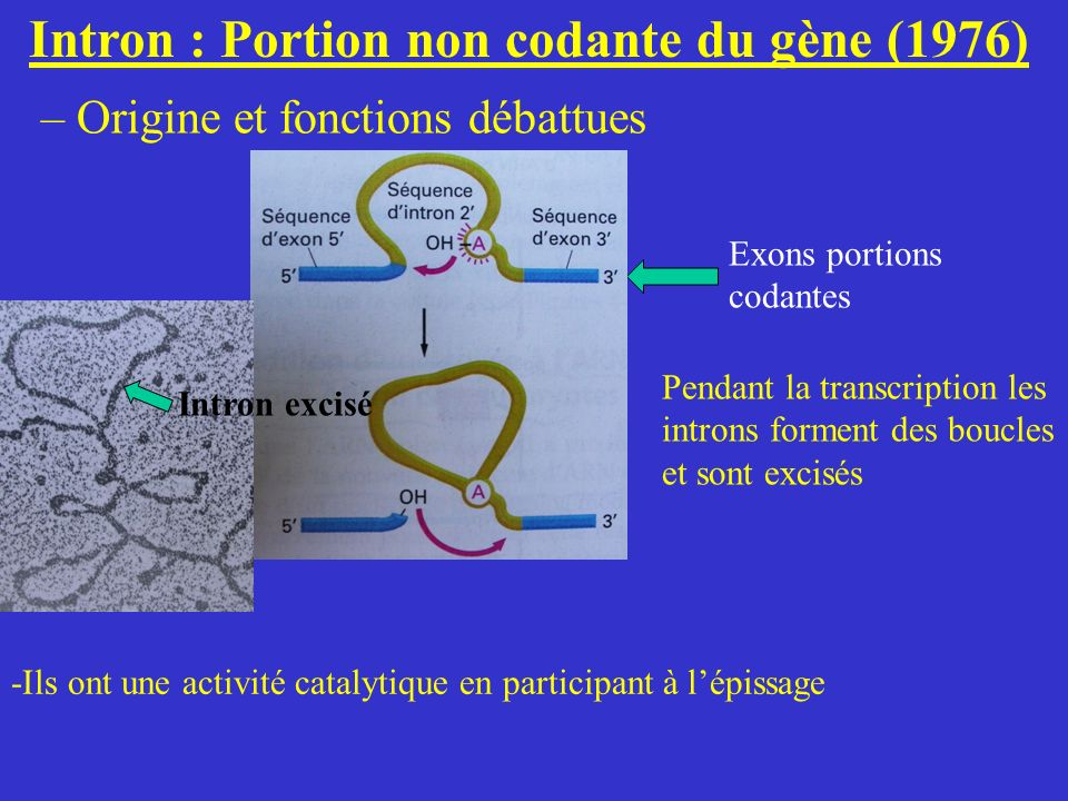 Intron : Portion non codante du gène (1976)