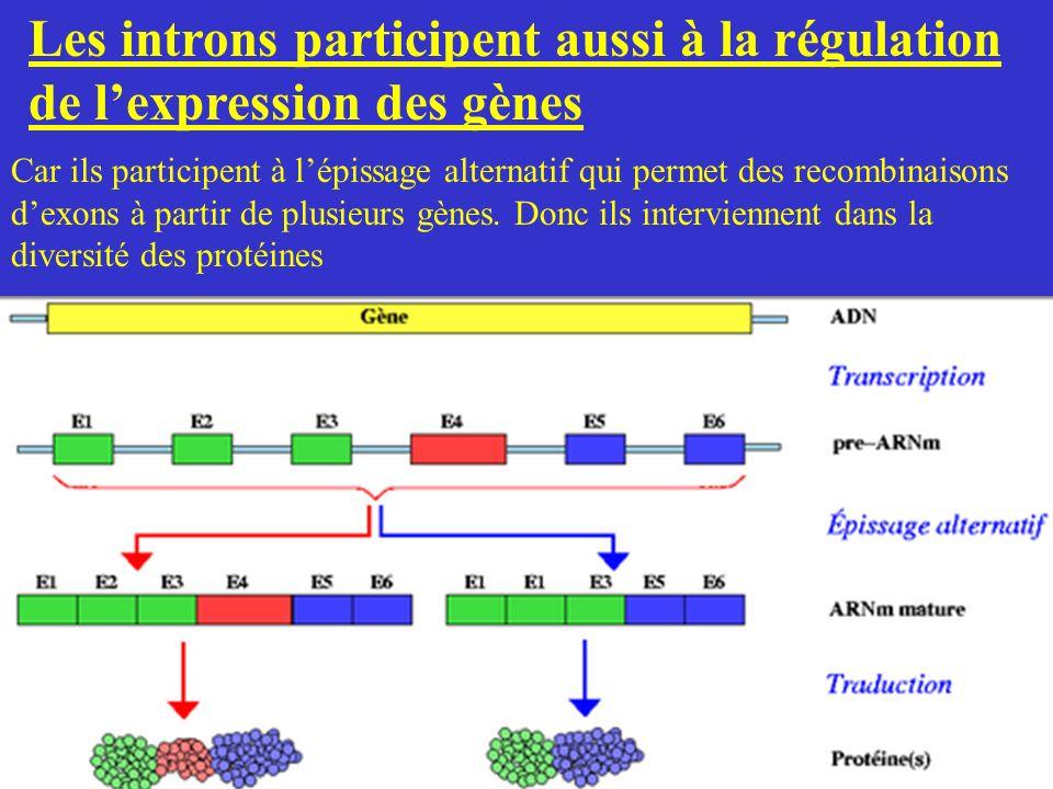 Les introns participent aussi à la régulation de l'expression des gènes