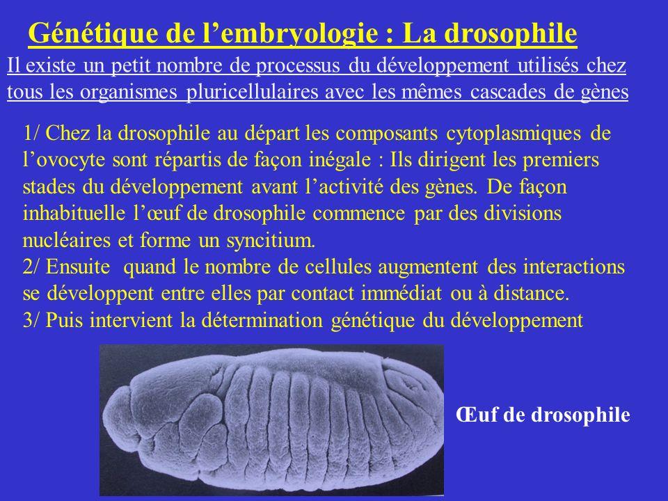 Génétique de l'embryologie : La drosophile