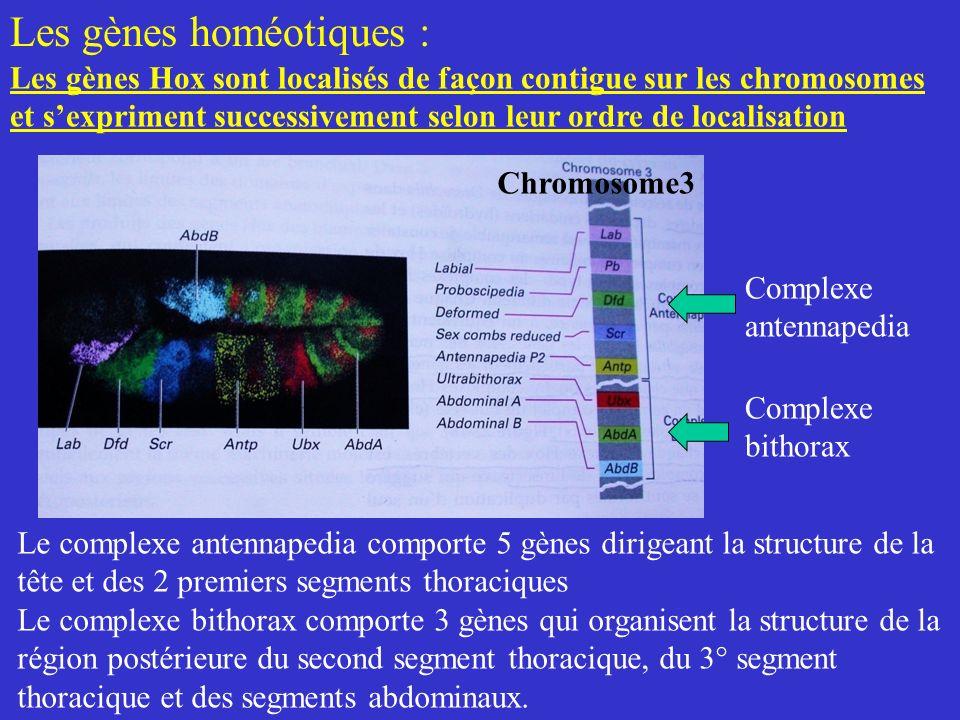 Les gènes homéotiques :