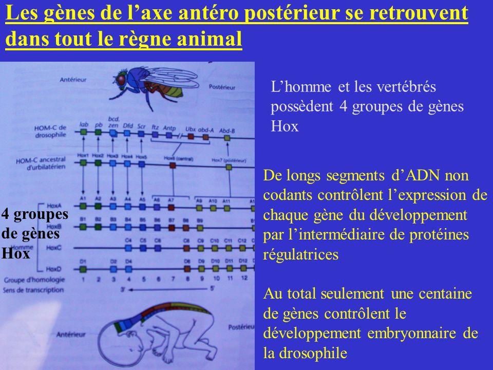Les gènes de l'axe antéro postérieur se retrouvent dans tout le règne animal