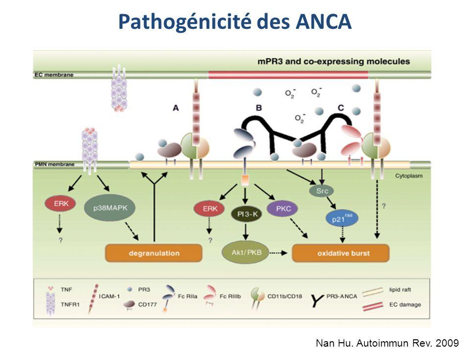 Pathogénicité des ANCA