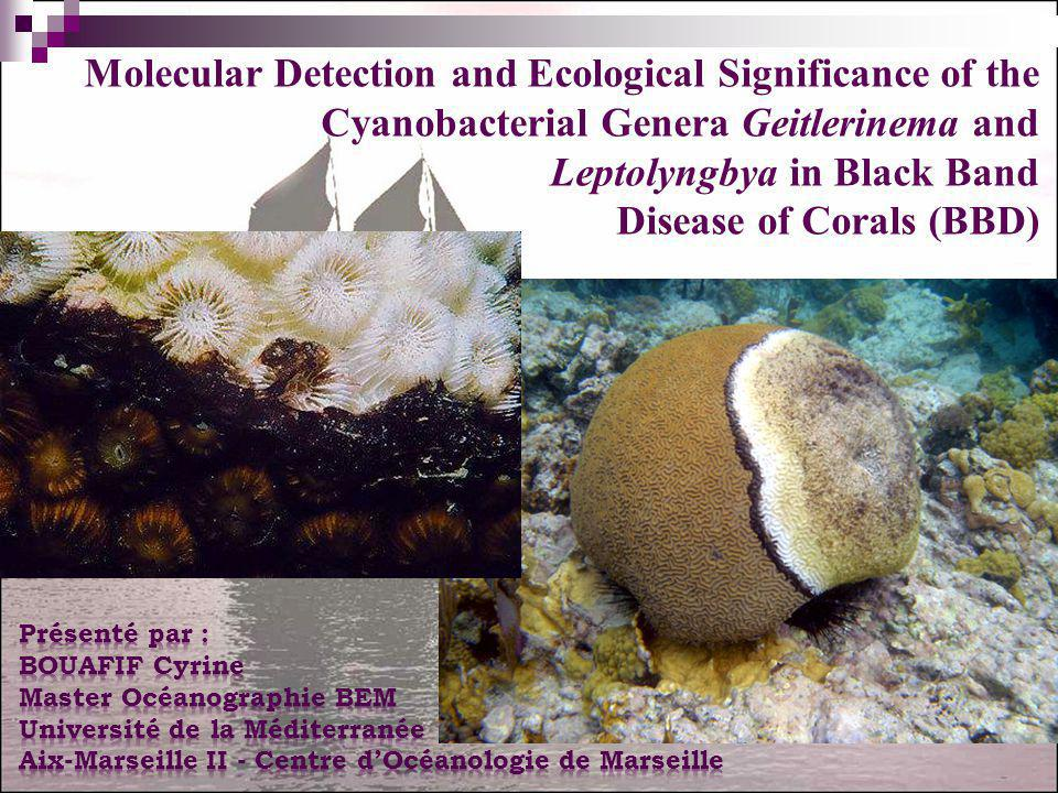Leptolyngbya in Black Band Disease of Corals (BBD)