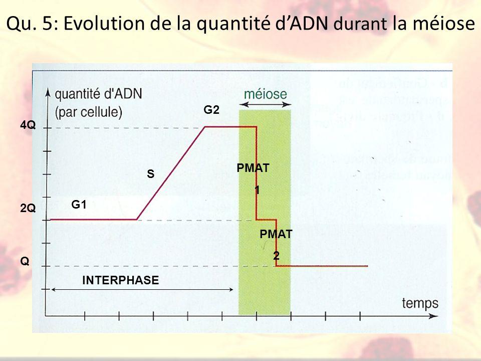 Qu. 5: Evolution de la quantité d'ADN durant la méiose
