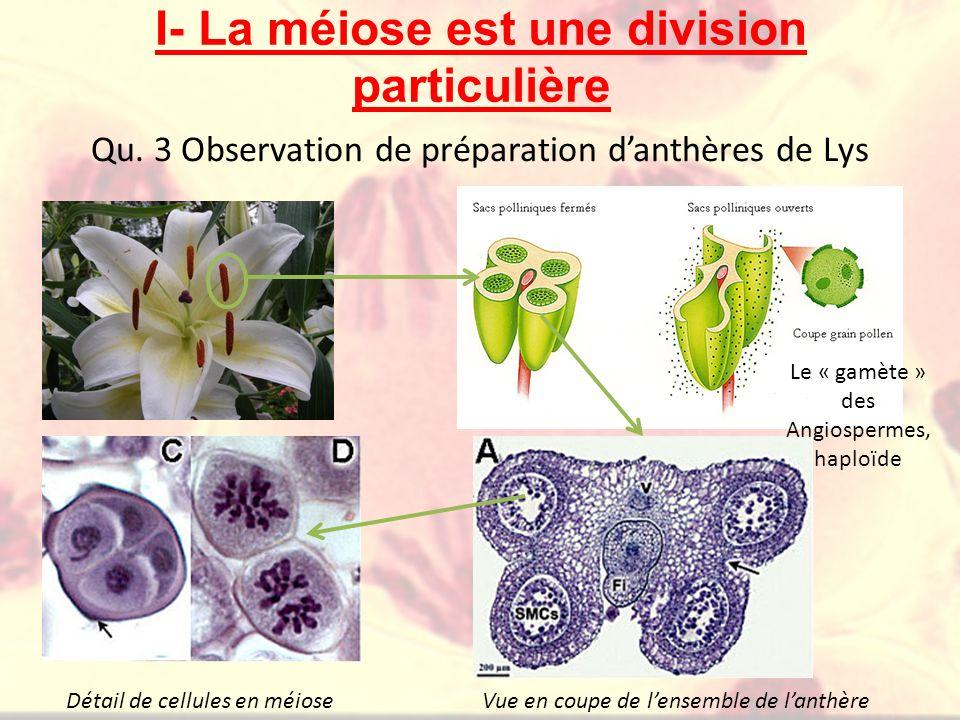 Qu. 3 Observation de préparation d'anthères de Lys