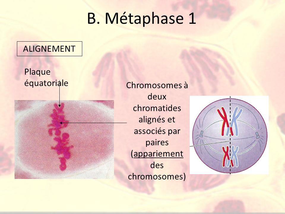 B. Métaphase 1 ALIGNEMENT Plaque équatoriale