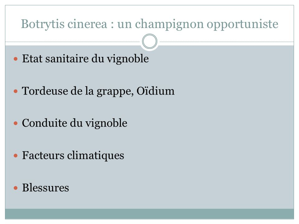 Botrytis cinerea : un champignon opportuniste