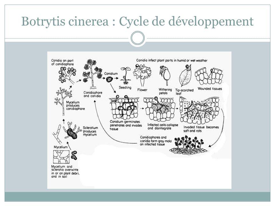 Botrytis cinerea : Cycle de développement