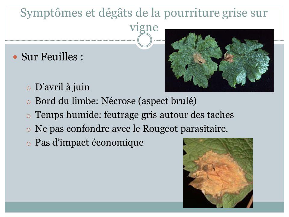 Symptômes et dégâts de la pourriture grise sur vigne