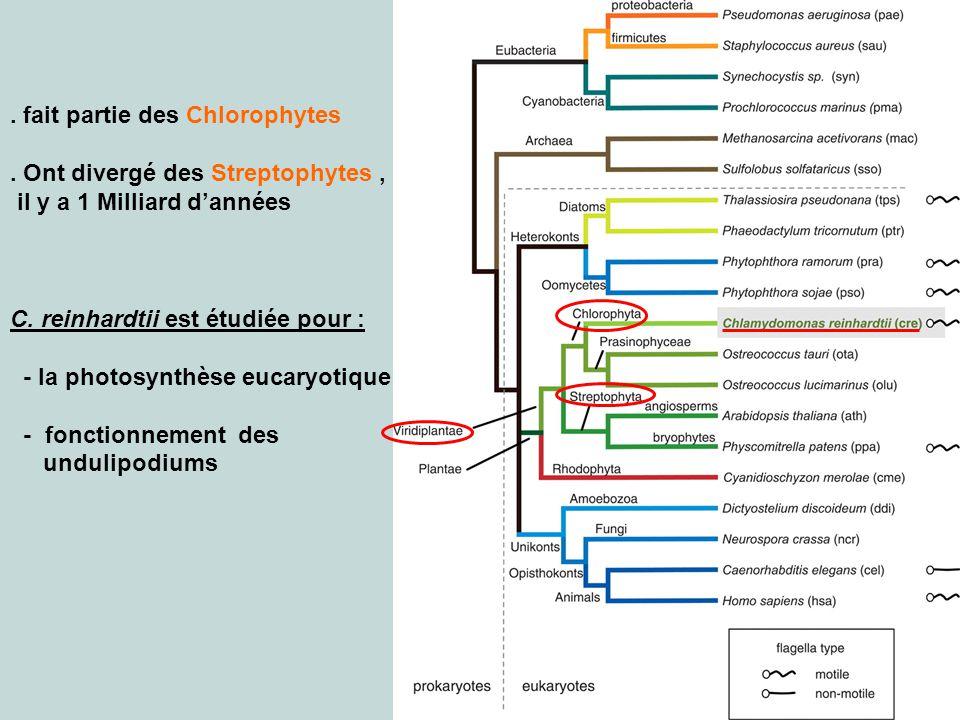 . fait partie des Chlorophytes
