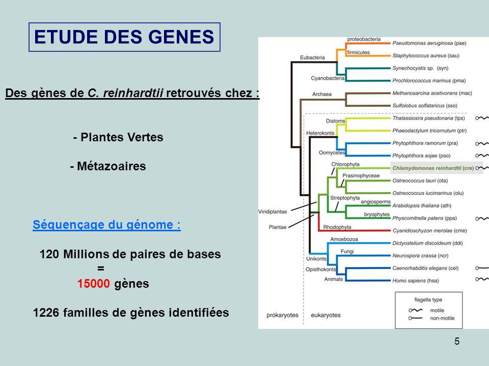 ETUDE DES GENES Des gènes de C. reinhardtii retrouvés chez :
