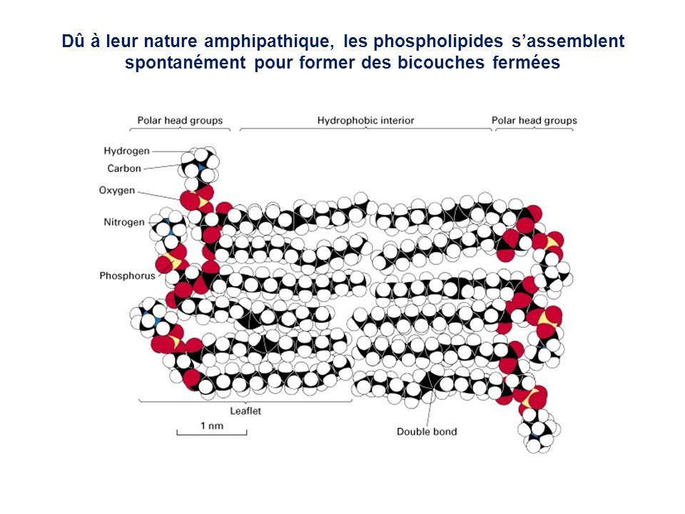 Dû à leur nature amphipathique, les phospholipides s'assemblent spontanément pour former des bicouches fermées