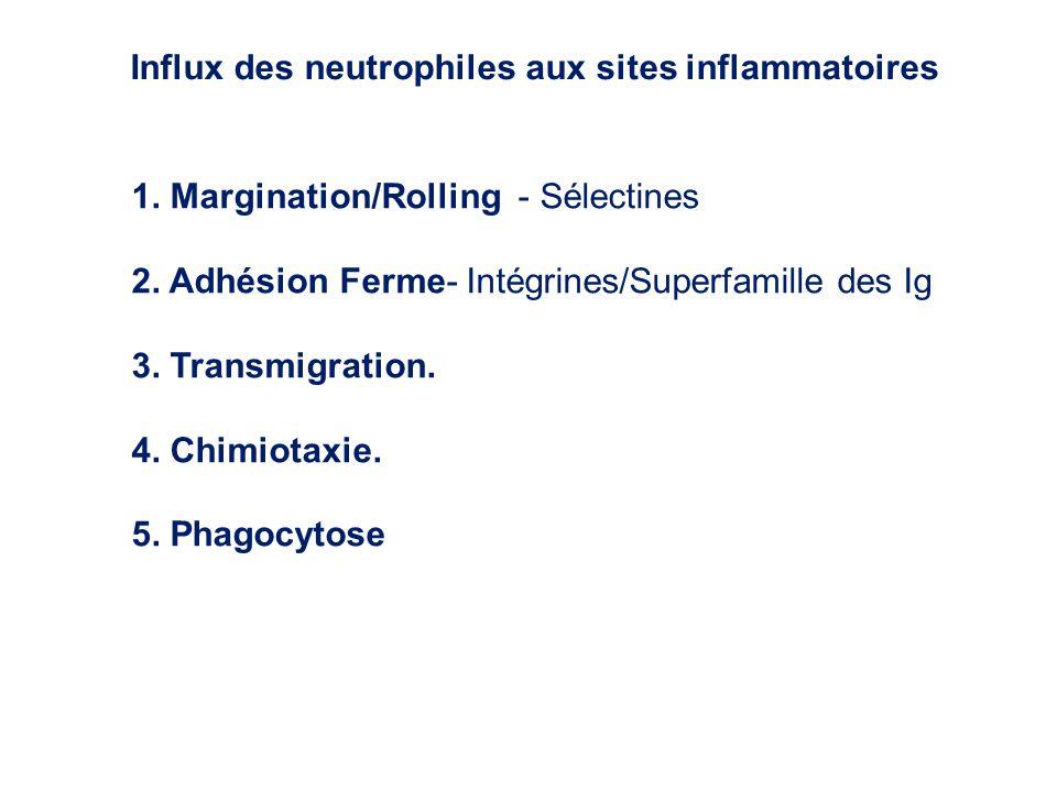 Influx des neutrophiles aux sites inflammatoires
