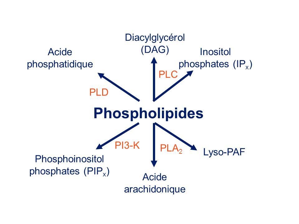 Phospholipides Diacylglycérol (DAG) Acide Inositol phosphatidique