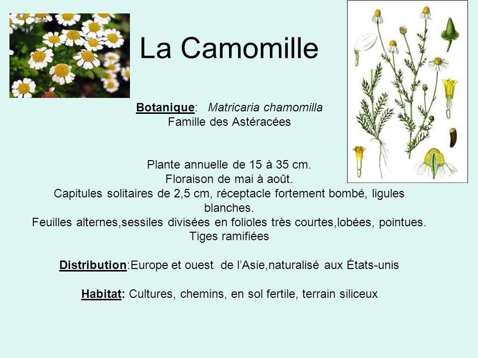 La Camomille Botanique: Matricaria chamomilla Famille des Astéracées Plante annuelle de 15 à 35 cm.
