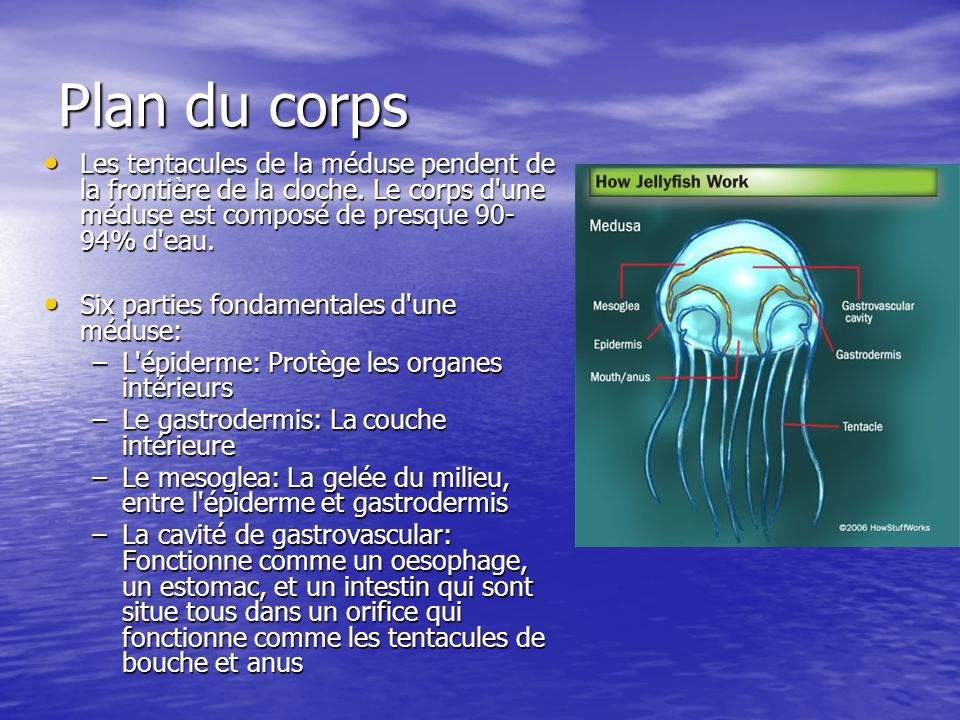 Plan du corps Les tentacules de la méduse pendent de la frontière de la cloche. Le corps d une méduse est composé de presque 90-94% d eau.